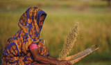 Biofortification to help end hidden hunger